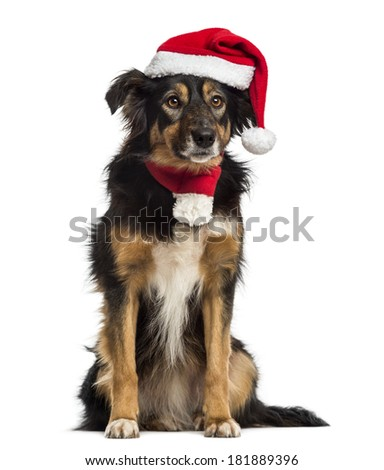 Border collie with christmas hat and scarf, sitting, isolated on white