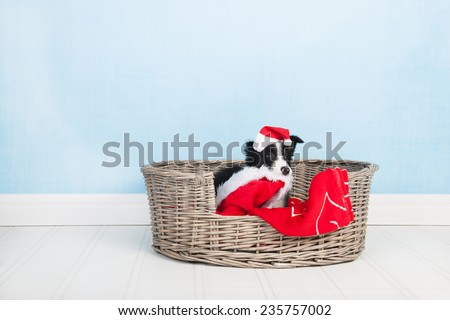 Border Collie with hat of Santa Claus in basket - stock photo