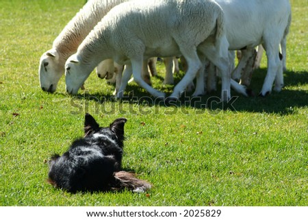 Border Collie working sheep in local exhibition - stock photo