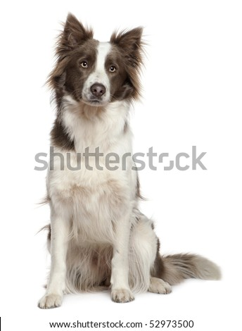 Border Collie, 1 year old, sitting in front of white background - stock photo