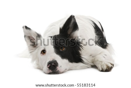 Border collie, 4 years old, in front of white background - stock photo