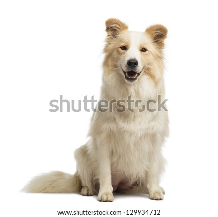 Border Collie, 2.5 years old, sitting and looking at the camera in front of white background - stock photo