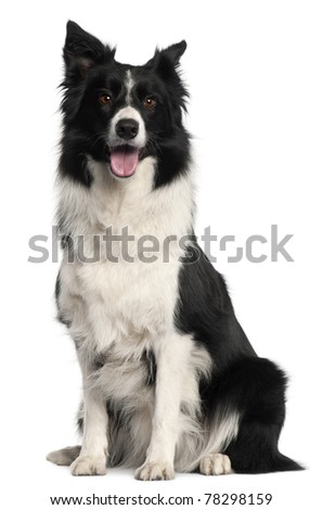 Border Collie, 4 years old, sitting in front of white background - stock photo
