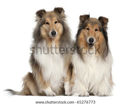 Border Collies, 6 and 7 years old, sitting in front of white background - stock photo