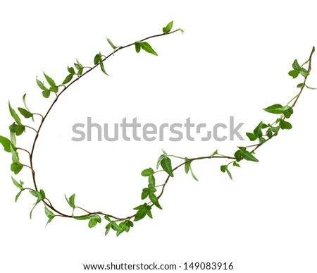 Border Frame made of Green climbing plant isolated on white background  - stock photo