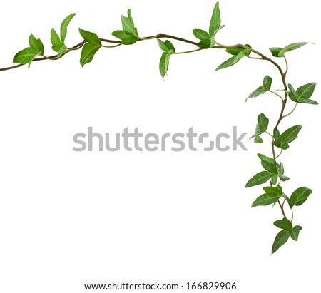 Border Frame made of Green climbing plant, shape heart , isolated on white background  - stock photo