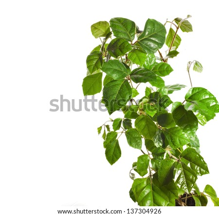 border of brunch of Liana Cissus Rhombifolia close up  isolated on white background