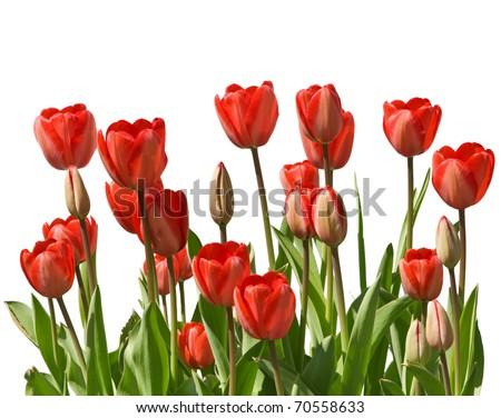 Border of fresh tulips on white background - stock photo