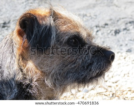 Border Terrier Dog head shot with beach background