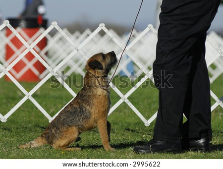 Border Terrier looks up at his master - stock photo