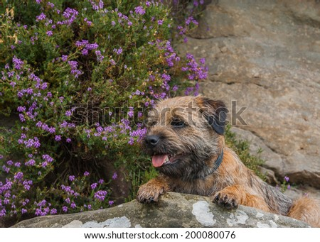 Border Terrier Photographed With Purple Heather On The England / Scotland Border in Northumberland - stock photo