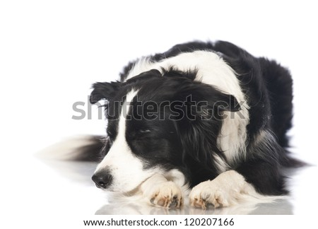 Bordercollie dog - stock photo