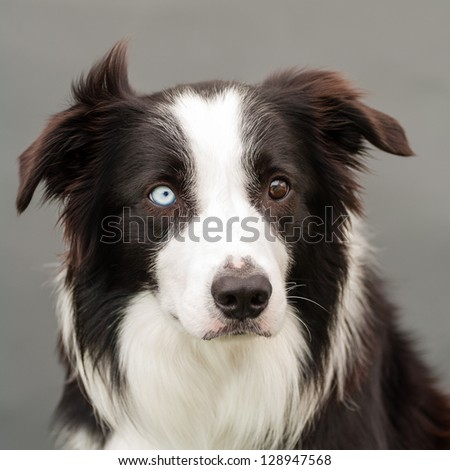 bordercollie one brown one blue eye stock photo royalty