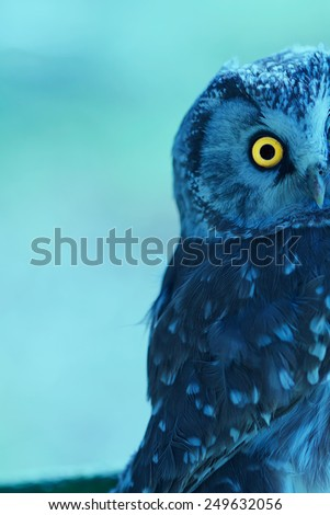 Boreal Owl (Aegolius funereus) at sunrise - stock photo