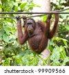 Bornean orangutan, Pongo pygmaeus, Sabah, Malaysia. - stock photo