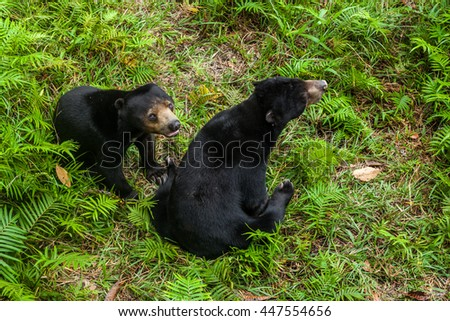 BORNEO, MALAYSIA - SEPTEMBER 6, 2014: Two Sunbears Sitting on the Ground, Matang Wildlife Centre, Semenggoh