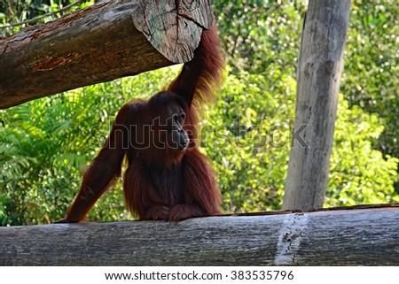 Borneo orangutan in Sabah Borneo, Malaysia - stock photo
