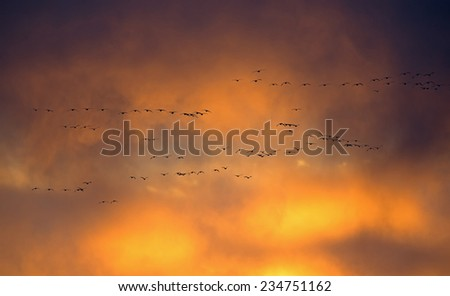 Bosque del Apache wildlife.  New Mexico.  National wildlife refuge.  Snow geese flying through a fiery sunset. - stock photo