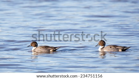 Bosque del Apache wildlife.  New Mexico.  National wildlife refuge.  Two pintail ducks swimming on pond. - stock photo