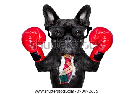 boss french bulldog boxing dog with big red gloves isolated on white background. - stock photo