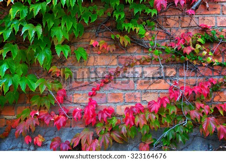 Boston ivy climbing on brick wall in autumn - stock photo