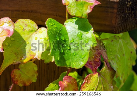 Boston ivy leaves perfectly covering wall - stock photo
