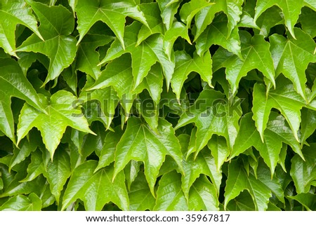 Boston ivy leaves perfectly covering wall; close-up version - stock photo