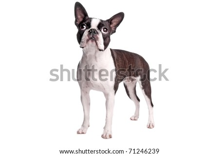 boston terrier dog - stock photo