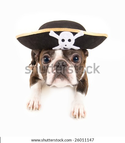 boston terrier dog dressed as a pirate - stock photo