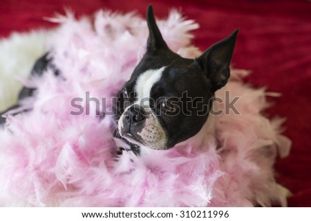Boston Terrier Dog in Pink Boa  - stock photo