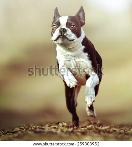 boston terrier dog puppy running - stock photo