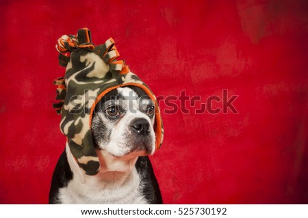 Boston terrier dog with a disguise in front of red background