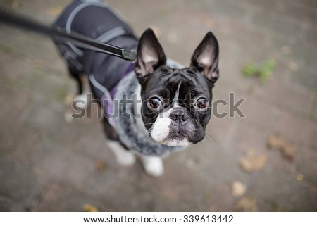 Boston Terrier equipped with warm jacket during a walk in autumn on a cold day