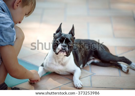 Boston Terrier eyeing boy who wants to play Outdoors on a warm sunny summer day - stock photo