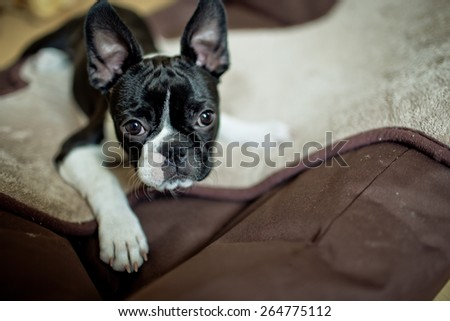 Boston Terrier Fina relaxing on her Doggy Bed - stock photo