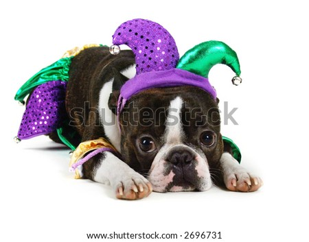 boston terrier in a jester costume - stock photo