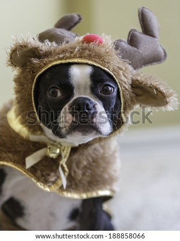 Boston Terrier in Reindeer Christmas Costume - stock photo