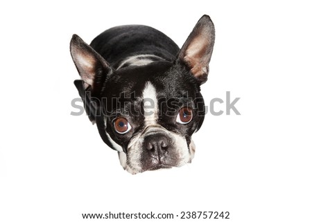 Boston Terrier looking at the camera. - stock photo