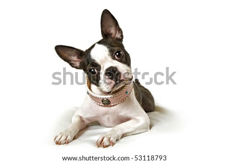 boston terrier on a white background - stock photo