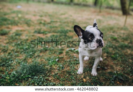 Boston Terrier on the nature.