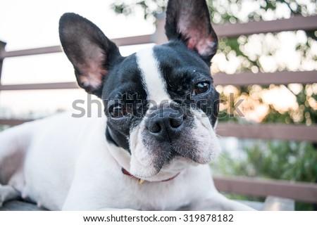 Boston Terrier portrait. White dog with black spot. - stock photo