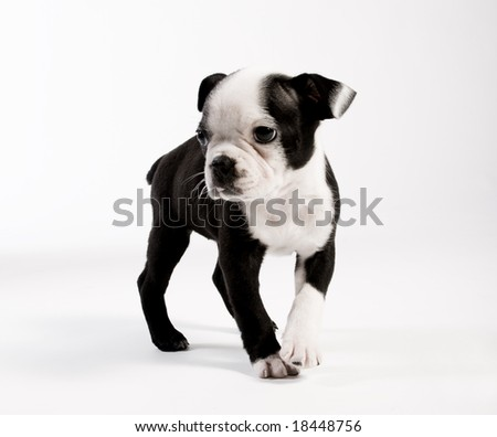 Boston Terrier Puppy Dog - stock photo
