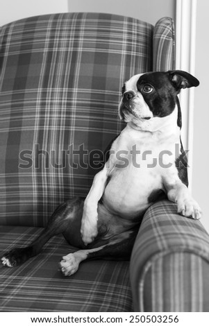 Boston Terrier Puppy In Armchair in Black and White - stock photo