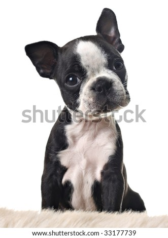 Boston terrier puppy, isolated on white. - stock photo