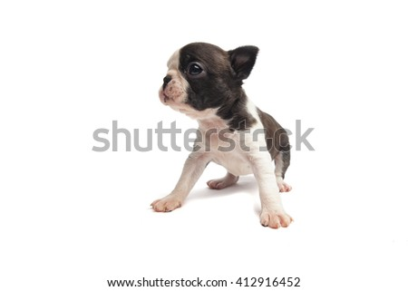 boston terrier puppy  on white background isolated - stock photo