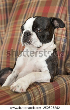 Boston Terrier Puppy Resting Paw on Chair - stock photo