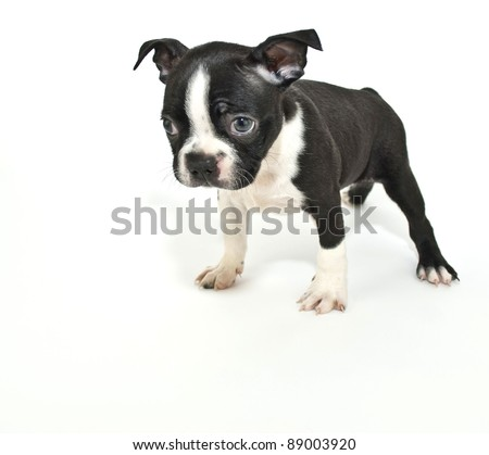 Boston Terrier puppy that looks like he just got himself in trouble for something and is sorry, on a white background. - stock photo