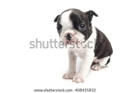 boston terrier puppy with sad eyes on white background isolated - stock photo