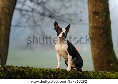 Boston Terrier sitting on mossy wall - stock photo