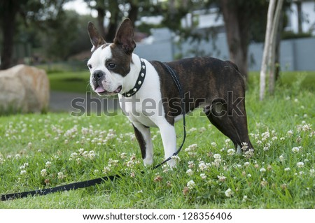 Boston Terrier standing watching what is going on - stock photo